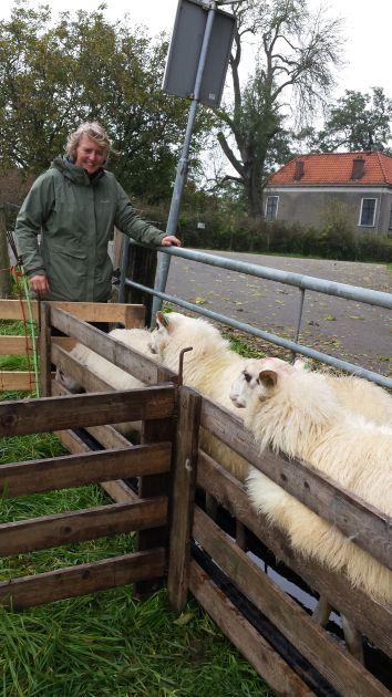 Constance helpt de schapen door het voetenbad te doen