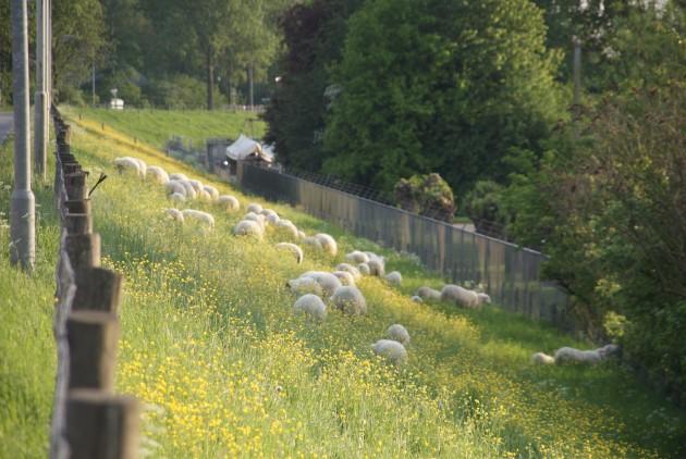 schapen op de dijk bij Wageningen