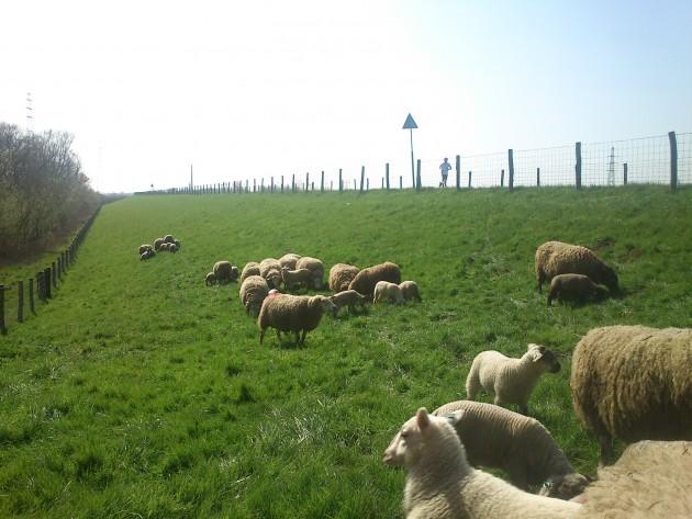 schapen op de Grebbedijk bij Wageningen